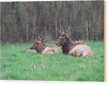 Wood Print featuring the photograph Elk Relaxing by Paul Freidlund