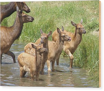 Elk Water Babies In Evergreen Colorado Wood Print