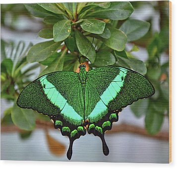 Emerald Swallowtail Butterfly Wood Print