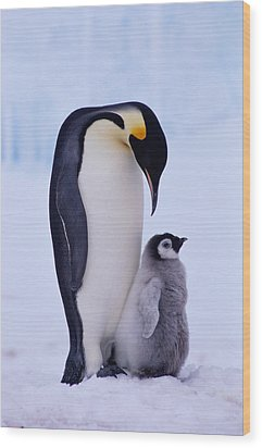 Emperor Penguin Adult With Chick Wood Print by Kevin Schafer