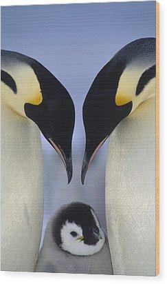 Emperor Penguin Family Wood Print