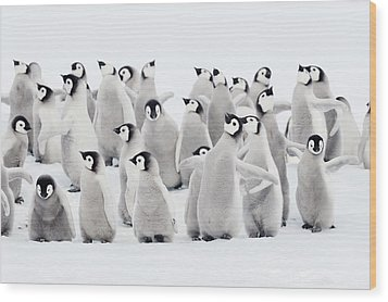 Emperor Penguins, Group Of Chicks. Wood Print by Martin Ruegner