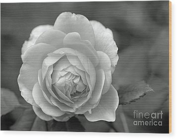 English Rose In Black And White Wood Print