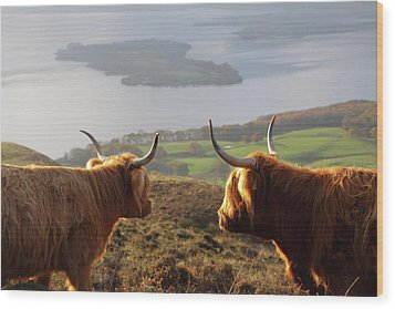 Enjoying The View - Highland Cattle Wood Print