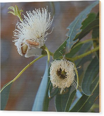 Eucalyptus Bloom Wood Print by Jean Booth