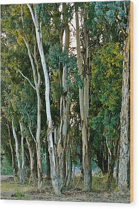 Eucalyptus Trees Wood Print