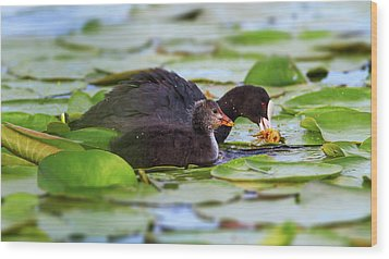 Eurasian Or Common Coot, Fulicula Atra, Duck And Duckling Wood Print by Elenarts - Elena Duvernay photo