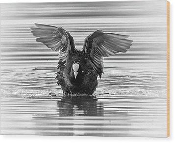 Eurasian Or Common Coot, Fulicula Atra, Duck Wood Print by Elenarts - Elena Duvernay photo