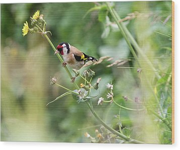 European Goldfinch Perched On Flower Stem B Wood Print