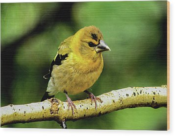 Evening Grosbeak Baby Wood Print