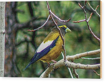 Evening Grosbeak On Aspen Wood Print