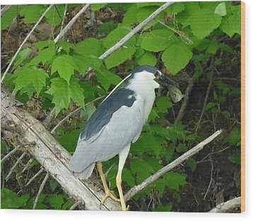 Wood Print featuring the photograph Evening Snack For A Night Heron by Donald C Morgan