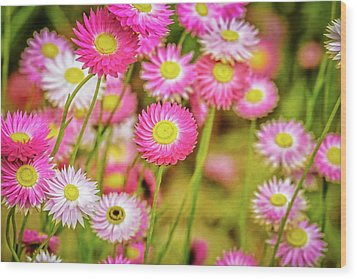 Wood Print featuring the photograph Everlasting Daisies, Kings Park by Dave Catley