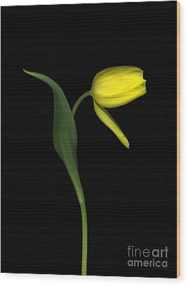 Fading Tulip Wood Print by Christian Slanec
