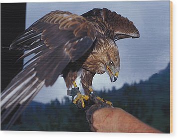 Wood Print featuring the photograph Falcon by Carl Purcell