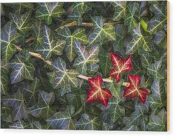 Wood Print featuring the photograph Fall Ivy Leaves by Adam Romanowicz