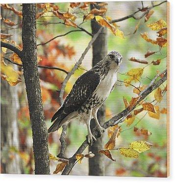 Fall Red-tailed Hawk Wood Print