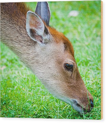 Fallow Deer Grazing British Fallow Deer Grazing On Grass In The New Forest Dorset Wood Print by Andy Smy