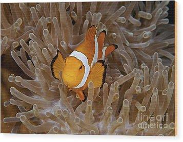 False Clownfish Wood Print by Steve Rosenberg - Printscapes