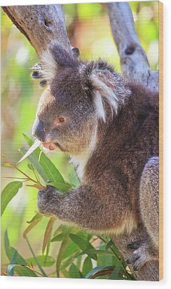 Wood Print featuring the photograph Feed Me, Yanchep National Park by Dave Catley