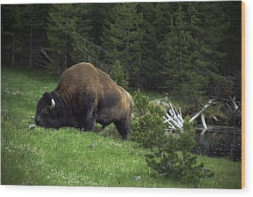 Wood Print featuring the photograph Feeding Buffalo by Jason Moynihan