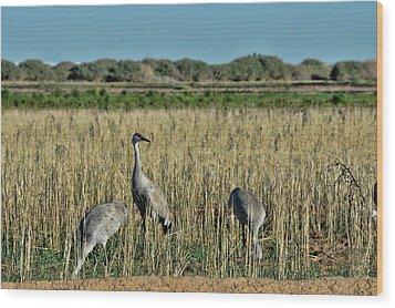 Feeding Greater Sandhill Cranes Wood Print by Daniel Hebard