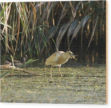 Feeding Squacco Heron Wood Print