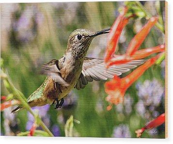 Female Broadtail Humingbird Wood Print