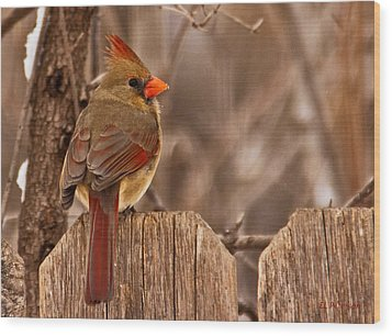 Female Cardinal On The Fence Wood Print by Edward Peterson