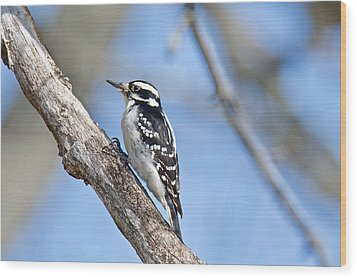 Wood Print featuring the photograph Female Downey Woodpecker 1104  by Michael Peychich
