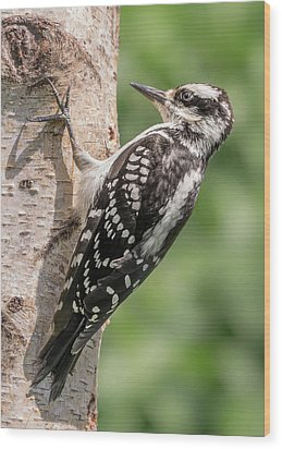 Wood Print featuring the photograph Female Hairy Woodpecker In Minnesota by Jim Hughes