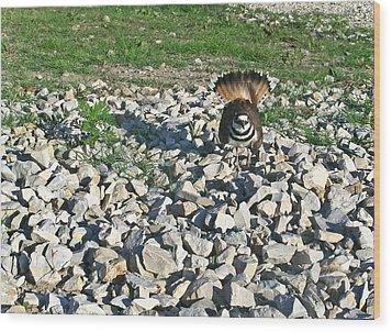 Female Killdeer Protecting Nest Wood Print by Douglas Barnett