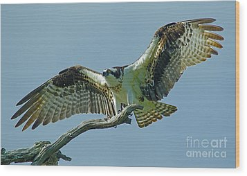Female Osprey Wood Print