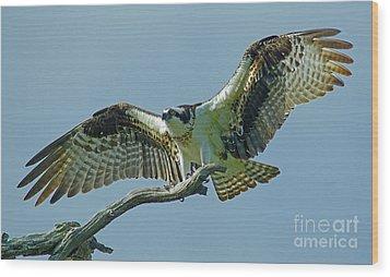 Female Osprey Wood Print by Larry Nieland