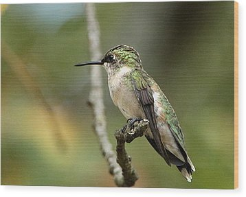 Female Ruby-throated Hummingbird On Branch Wood Print by Sheila Brown