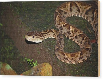 Wood Print featuring the photograph Fer-de-lance, Botherops Asper by Breck Bartholomew