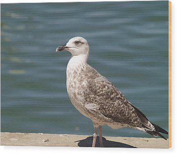 Ferragudo Gull Wood Print by Michael Canning