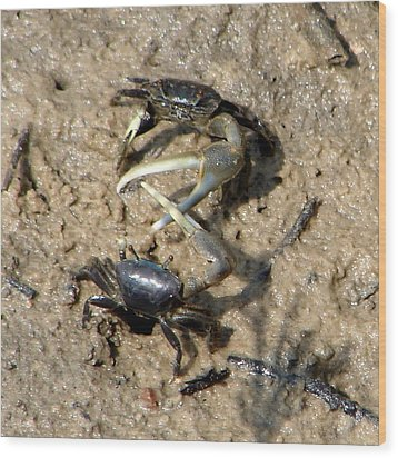 Fiddler Crabs Fighting 1 Wood Print