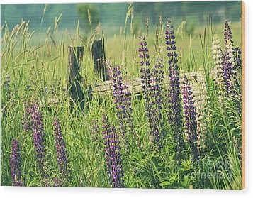 Field Of Lupin Flowers  Wood Print by Sandra Cunningham