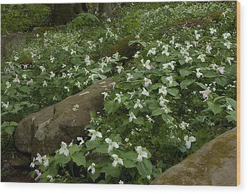 Wood Print featuring the photograph Field Of Trillium 2841 by Peter Skiba
