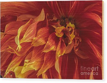 Fiery Dahlia Wood Print by Chris Scroggins