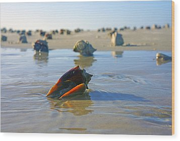 Fighting Conchs On The Sandbar Wood Print by Robb Stan
