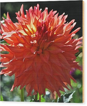 Fire It Up Dahlia  Wood Print