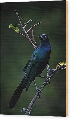 Male Boat-tailed Grackle Wood Print by Cyndy Doty