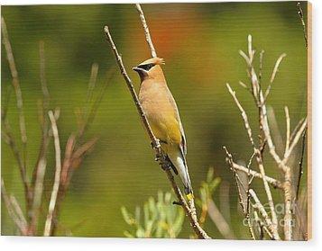 Fishercap Cedar Waxwing Wood Print