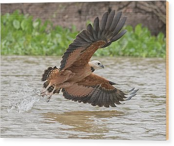 Wood Print featuring the photograph Fishing Hawk by Wade Aiken