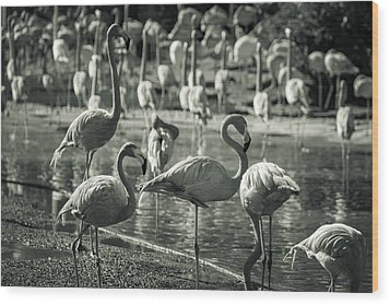 Flamboyance Of Flamingos Wood Print by Jason Moynihan