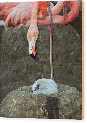 Flamingo And Chick Wood Print by Anthony Jones