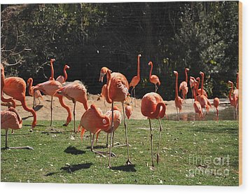 Wood Print featuring the photograph Flamingos by John Black