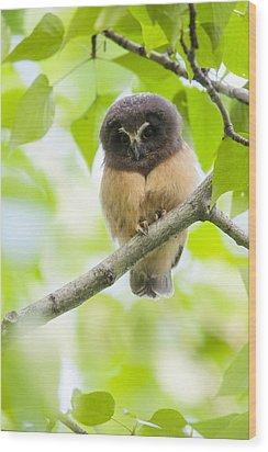 Fledgling Saw-whet Owl Wood Print by Tim Grams